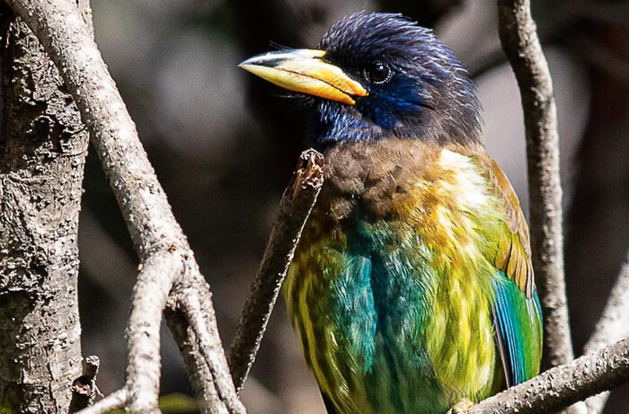 Great Barbet - Nest & Hives